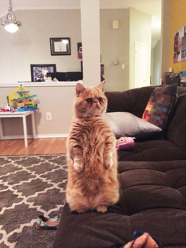 Poznajcie George'a - kota, który woli stać niż siedzieć