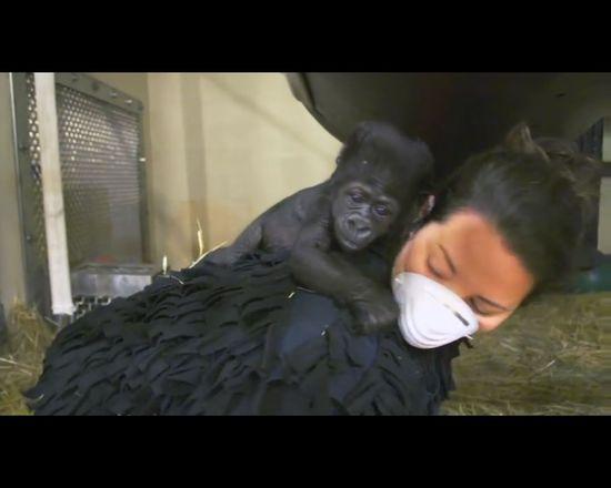 Pracownice ZOO wychowały gorylątko odrzucone przez mamę