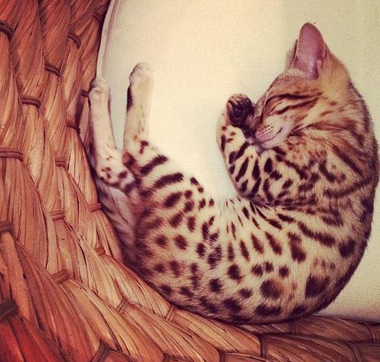 Kot Kourtney Kardashian miauczy w luksusie (FOTO)
