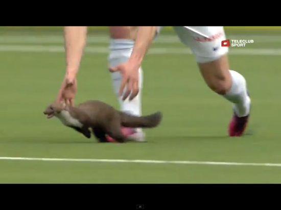 Łasica sterroryzowała piłkarzy podczas meczu [VIDEO]