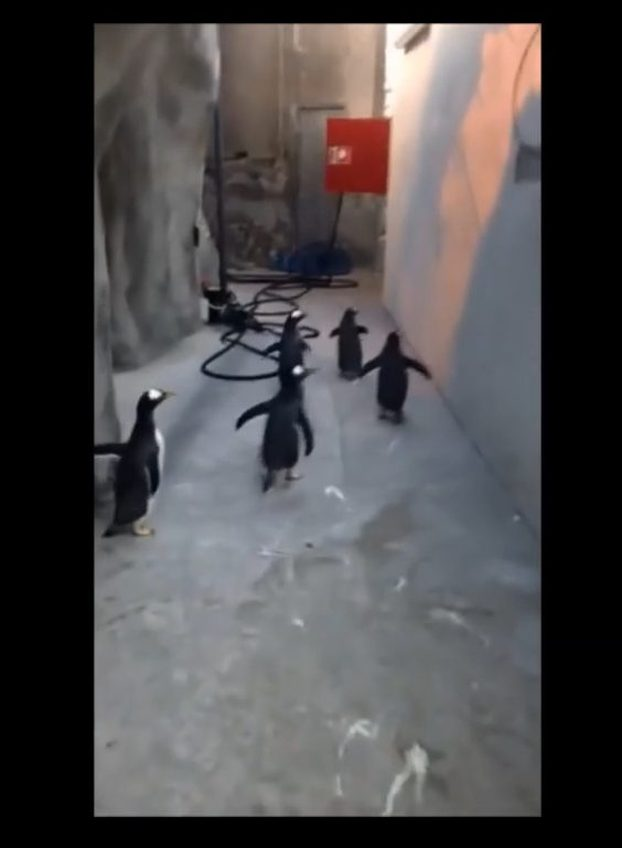 Czy te pingwiny naogl�da�y si� kresk�wek? [VIRAL]