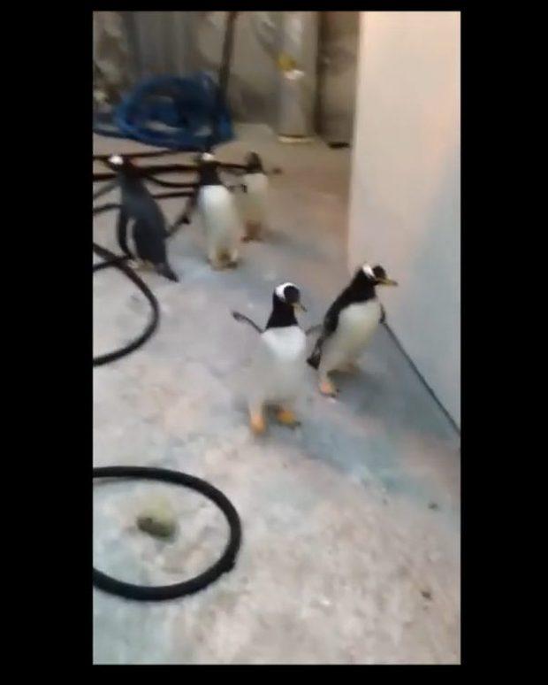 Czy te pingwiny naoglądały się kreskówek? [VIRAL]