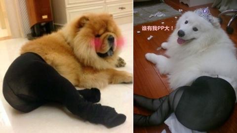 Nowa moda: psy w rajtuzach (FOTO)