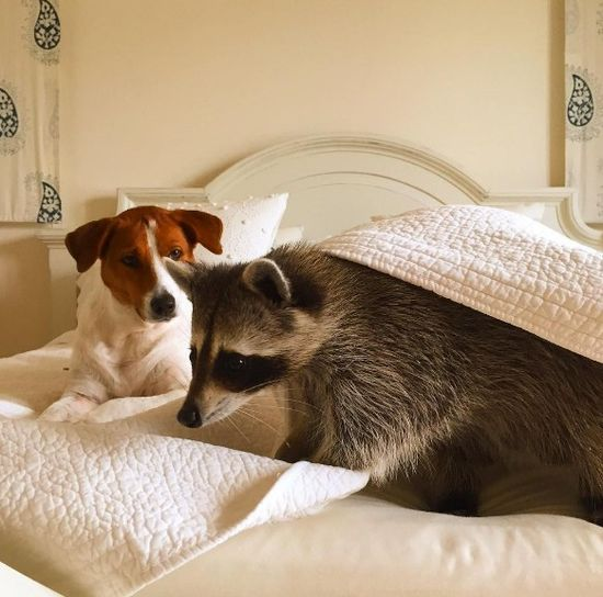 Co za SZOPKA! Szop myśli, że jest psem! (FOTO)