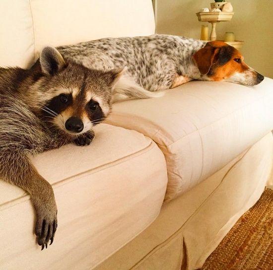 Co za SZOPKA! Szop my�li, �e jest psem! (FOTO)