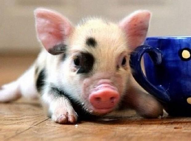Tom Daley pozuje ze... świnką (FOTO)