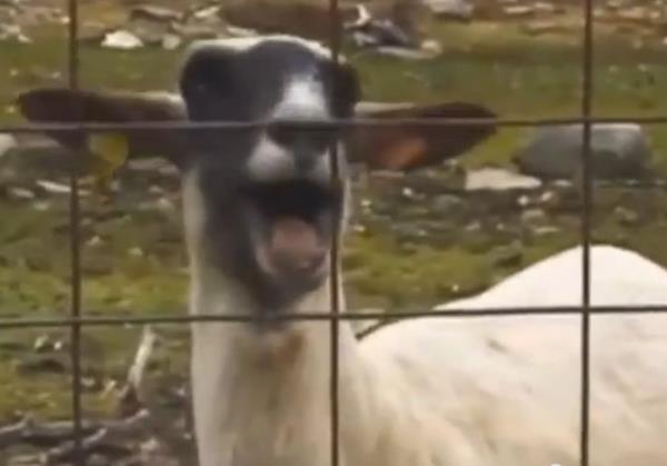 Śpiewająca koza robi karierę na YouTube (VIDEO)