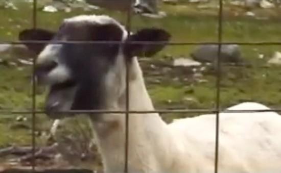 Nowy hit Internetu: Taylor Swift sparodiowana przez kozę!