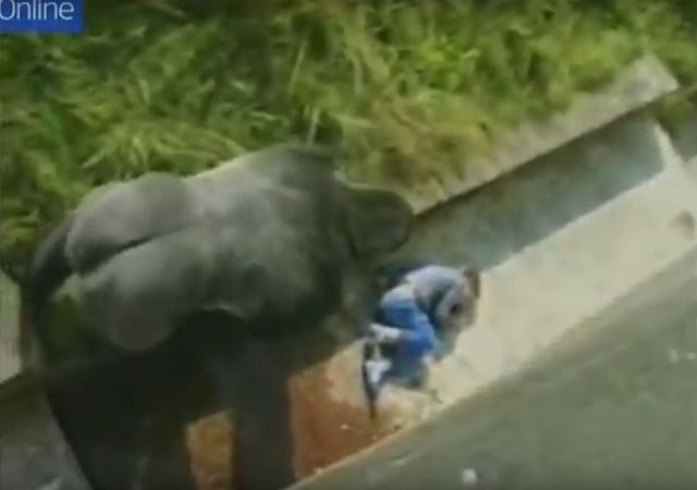 Szok! 5-latek w zoo spadł na wybieg z gorylami (VIDEO)