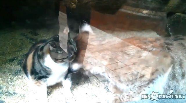 Ten kot zaprzyjaźnił się z rysiem! (VIDEO)