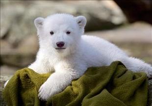 Słynny niedźwiadek Knut nie żyje