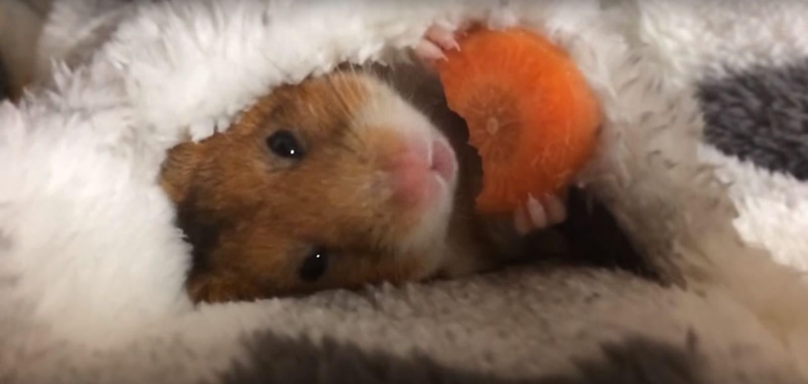 Ten słodki chomik został gwiazdą internetu! (VIDEO)