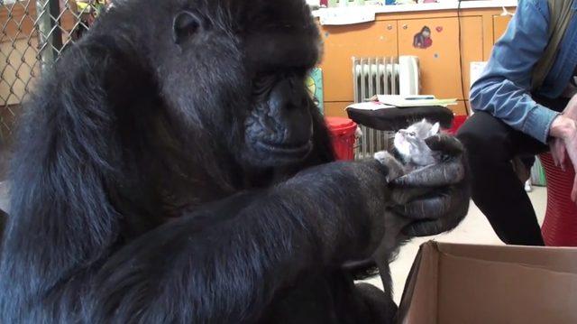 Gorylica Koko bardzo chciała mieć dzieci [VIDEO]
