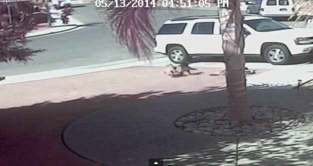 Kot ratuje chłopca przed atakiem psa! (VIDEO)