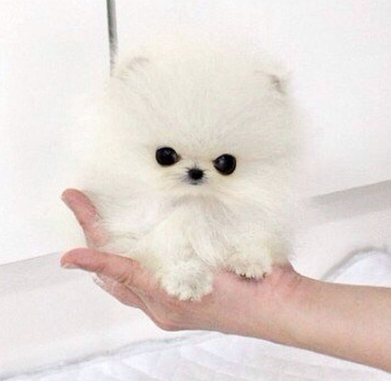 Najmniejszy pies na świecie trafił w ręce Paris Hilton (FOTO
