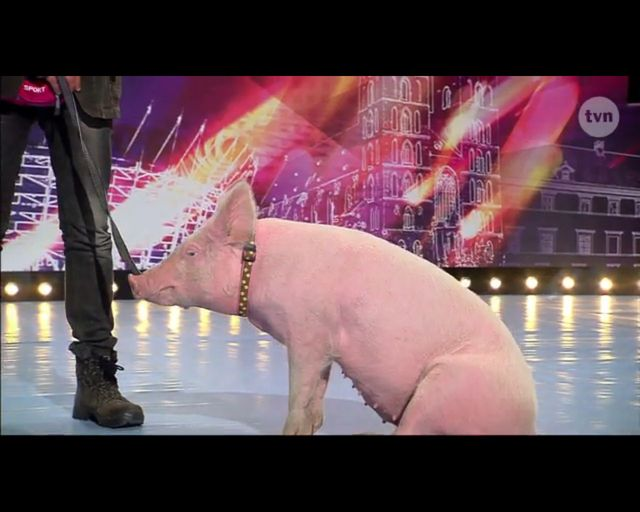 Kupa świnki gwoździem (do trumny?) Mam Talent!? (FOTO)