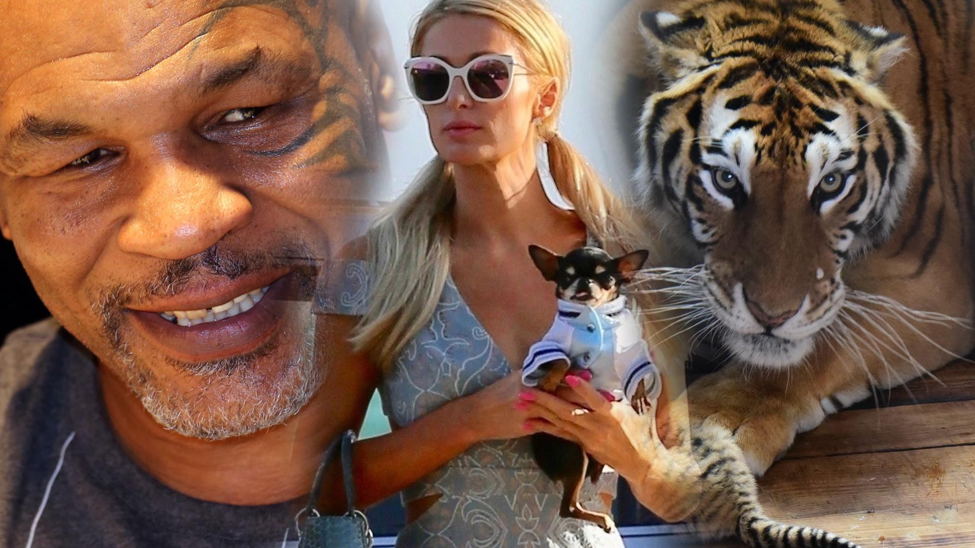 Dwie kobry, czy tygrysy? Gwiazdy, które miały w domu NIEBEZPIECZNE zwierzęta! Były o krok od tragedii?