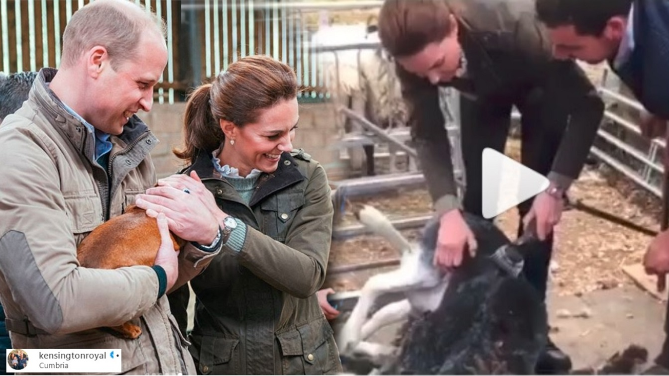 William i Kate strzygą owce na farmie (WIDEO) – po kryzysie ani śladu? Już dawno nie widzieliśmy ich tak wesołych!