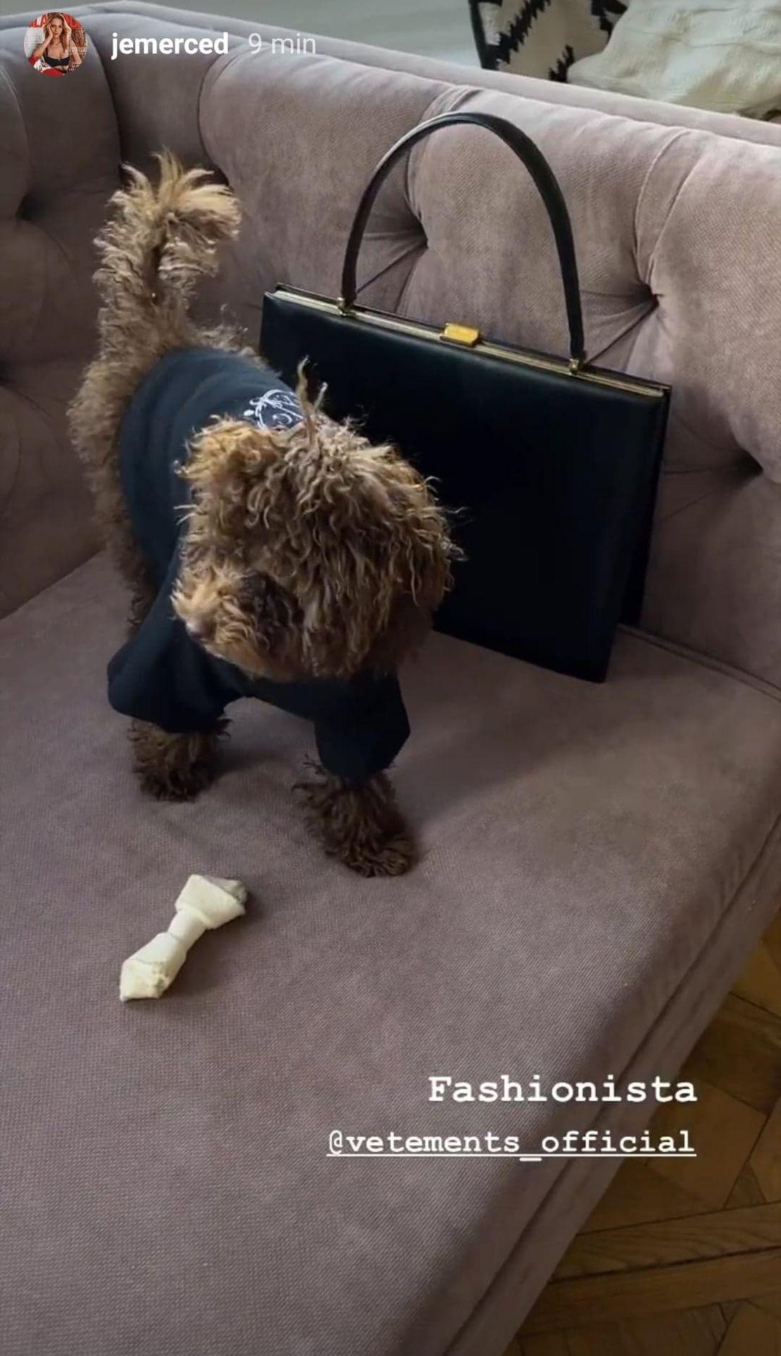 Pies Jessiki Mercedes na kanapie